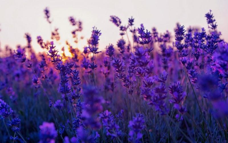 Liền sẹo bằng hoa oải hương