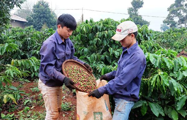 Trợ giúp người sản xuất cafe tiến bộ