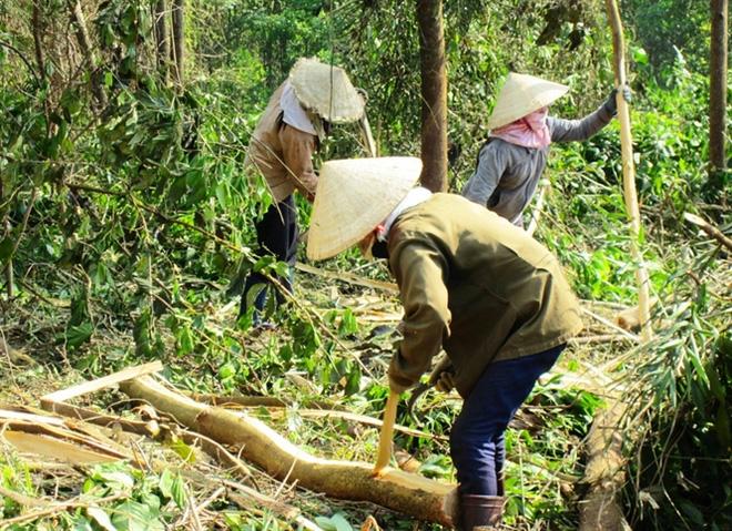 Thị trường dăm gỗ chững lại, giá gỗ rừng trồng đang tăng cao