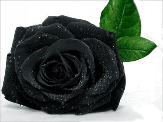 Hoa hồng đen, loài hoa của những đam mê và khát khao