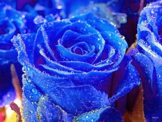 Đại ý sâu sắc của những bông hồng xanh