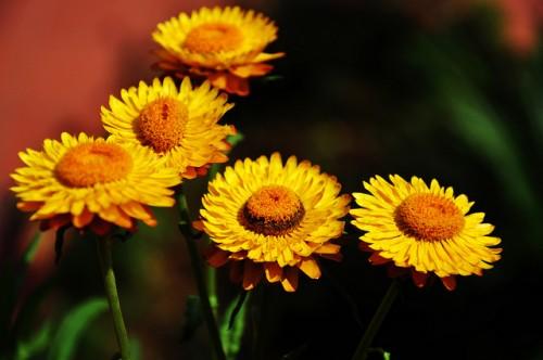 Sự tích về hoa bất tử