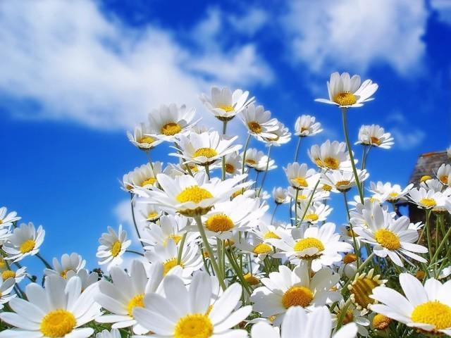Ý nghĩa sâu sắc của hoa cúc dại – loài hoa may mắn vào thời điểm tháng 4