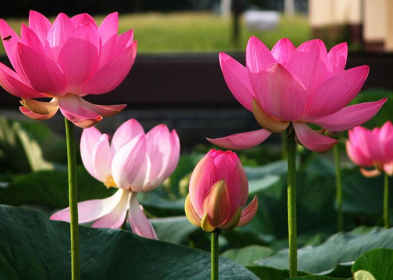 Ngỡ ngàng vẻ đẹp của loài hoa là Quốc hoa của hai quốc gia