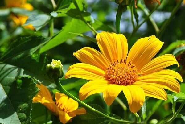Năm mẫu hoa đại diện cho sự mạnh khỏe
