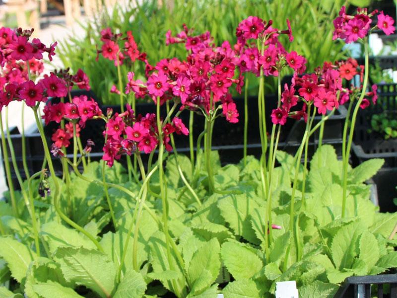 Say đắm với vẻ đẹp của hoa anh thảo Japan