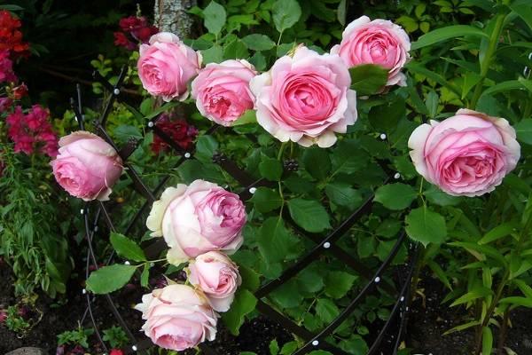 Kinh nghiệm trồng hoa hồng tươi tốt, nở hoa rực rỡ trên sân thượng