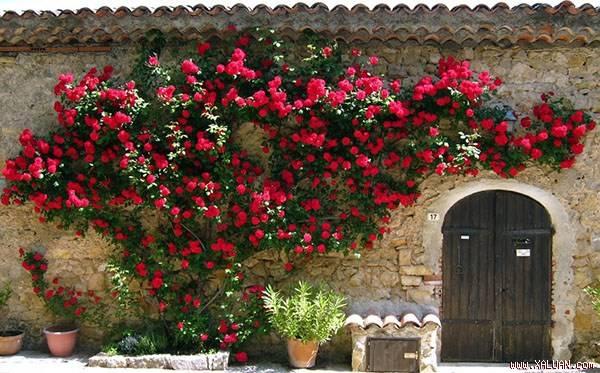 Hướng dẫn cách trồng cây hoa hồng leo đơn giản cho ra hoa nhiều nhất