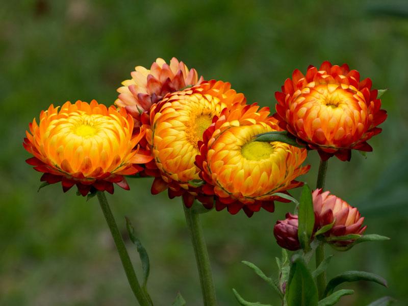 """Chùm ảnh thể hiện nét đẹp của loài hoa """"trường sinh bất tử"""""""