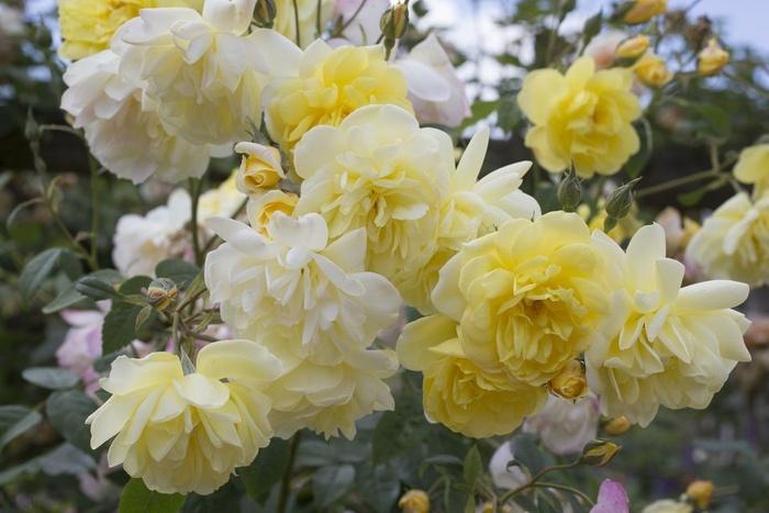 Ngày Tết, chăm hoa hồng làm sao mới tươi lâu, chẳng lo sâu bệnh