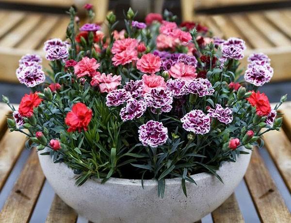 Một vài mẫu hoa trồng ở trong chậu đẹp tuyệt dành cho mùa xuân