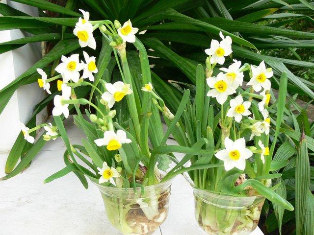 Bông tết, hoa nào có chứa chất độc?