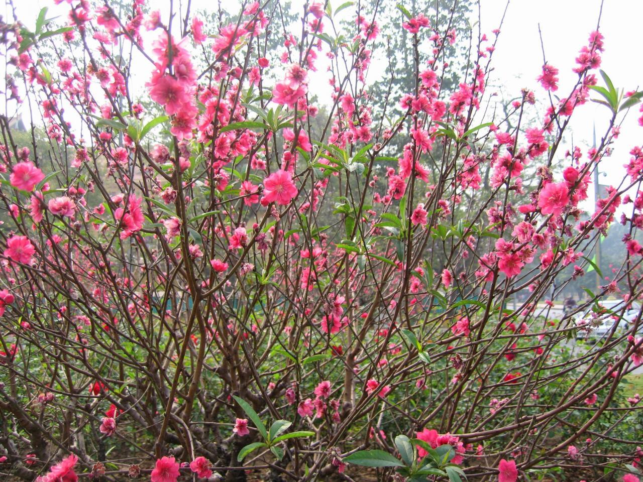 Những loài hoa đem đến điềm may mắn cho gia đình vào năm2018