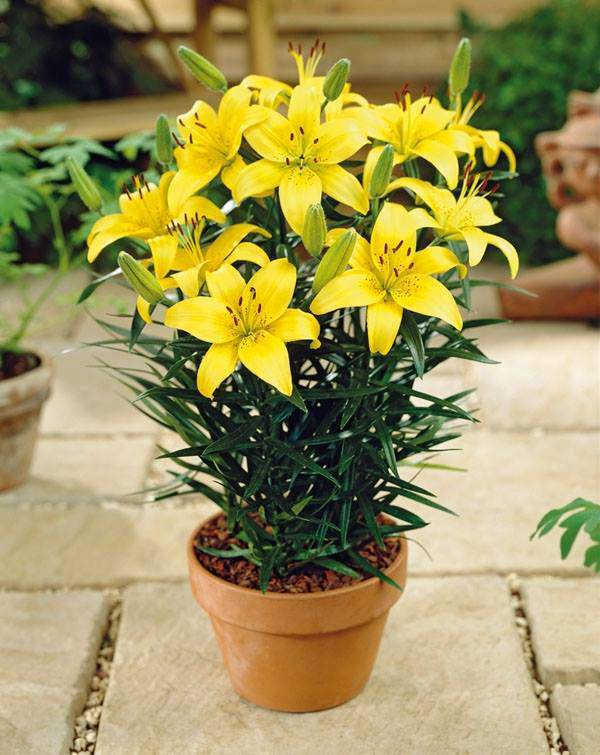 Muốn có hoa ly lùn chơi Tết, học ngay cách trồng và chăm lo cực đơn giản dễ dàng dưới đây