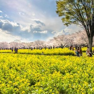 Ấn tượng mùa hoa cải vàng rực ở Nhật mỗi mùa xuân đến