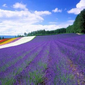 Hoa lavender tại Nhật Bản nở vào mùa nào?