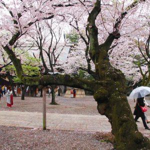 Anh đào Nhật Bản trong thời kỳ bung nở đẹp nhất trong năm