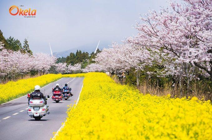 Thông báo lịch ngắm hoa anh đào 2019 ở các nơi nổi tiếng ở Hàn Quốc