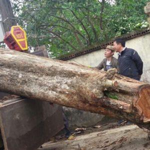 Giải mã nguyên nhân tại sao cây gỗ sưa 'đắt hơn vàng'