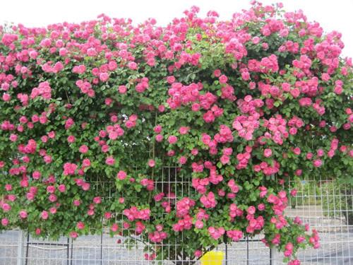 Những mẫu hàng rào từ hoa đẹp say lòng người