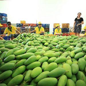 """Cước vận chuyển gia tăng """"làm khổ"""" trái cây tươi xuất khẩu"""