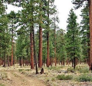 Ưu nhược điểm của gỗ thông và ứng dụng trong sản xuất đồ gỗ