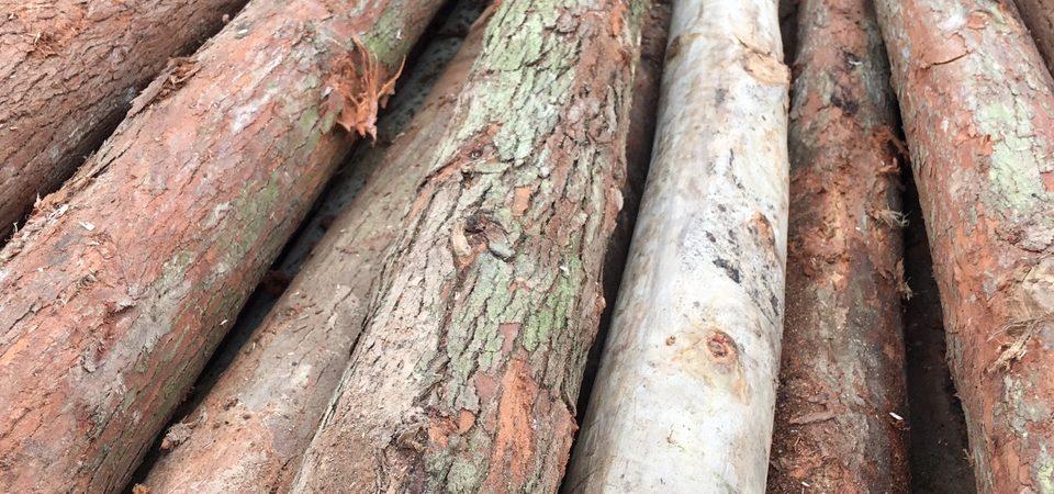 Bí kíp giữ gìn gỗ bạch đàn trước những sinh vật gây hại